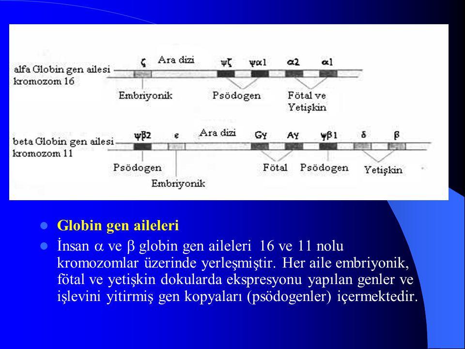Globin gen aileleri İnsan  ve  globin gen aileleri 16 ve 11 nolu kromozomlar üzerinde yerleşmiştir. Her aile embriyonik, fötal ve yetişkin dokularda