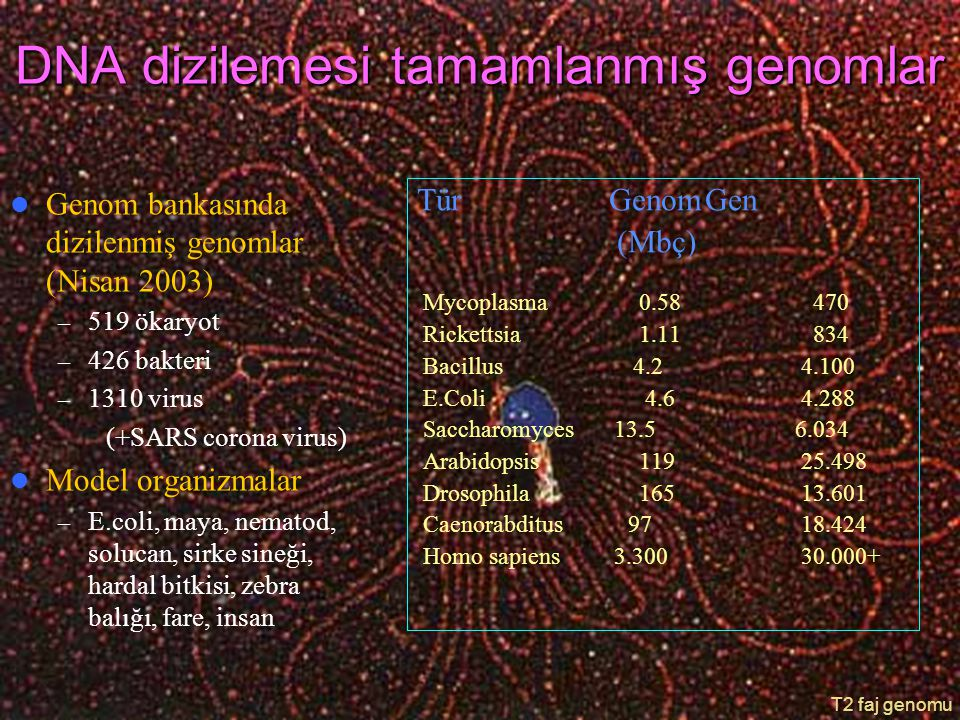 DNA dizilemesi tamamlanmış genomlar Genom bankasında dizilenmiş genomlar (Nisan 2003) – 519 ökaryot – 426 bakteri – 1310 virus (+SARS corona virus) Mo