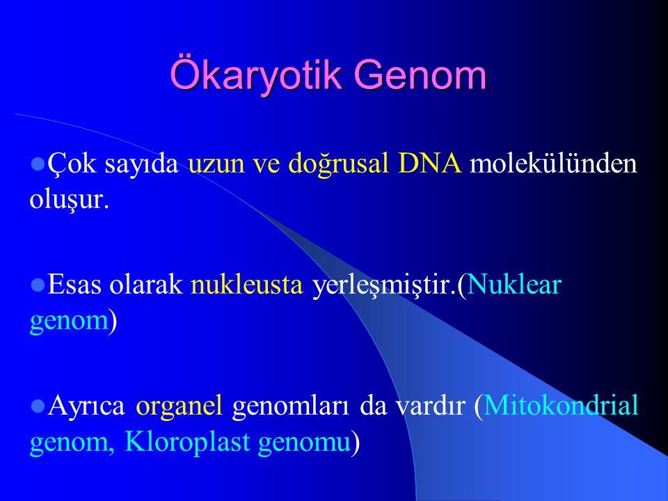 Ökaryotik Genom Çok sayıda uzun ve doğrusal DNA molekülünden oluşur. Esas olarak nukleusta yerleşmiştir.(Nuklear genom) Ayrıca organel genomları da va