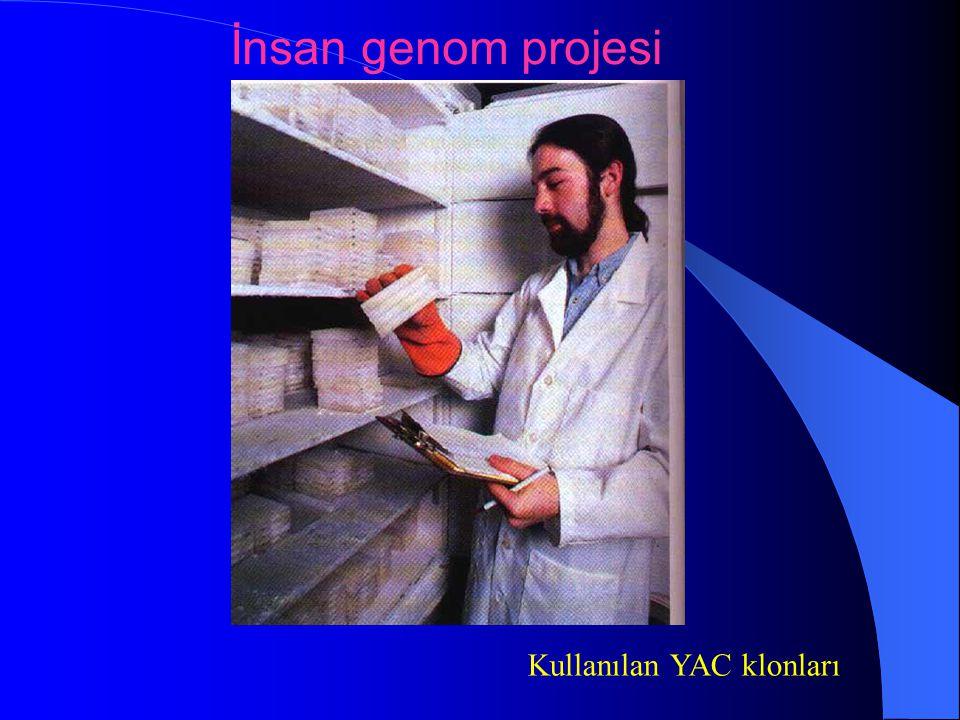 İnsan genom projesi Kullanılan YAC klonları