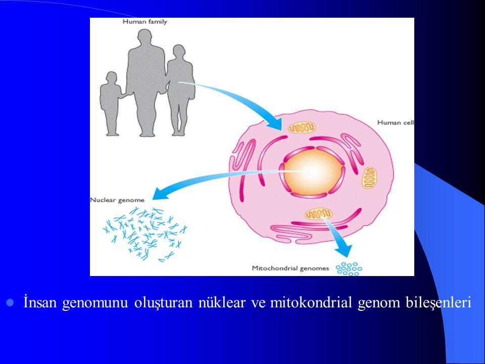 İnsan genomunu oluşturan nüklear ve mitokondrial genom bileşenleri