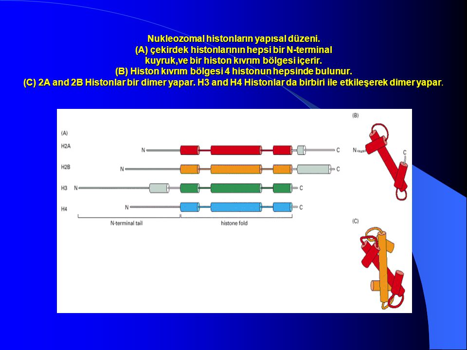 Nukleozomal histonların yapısal düzeni. (A) çekirdek histonlarının hepsi bir N-terminal kuyruk,ve bir histon kıvrım bölgesi içerir. (B) Histon kıvrım