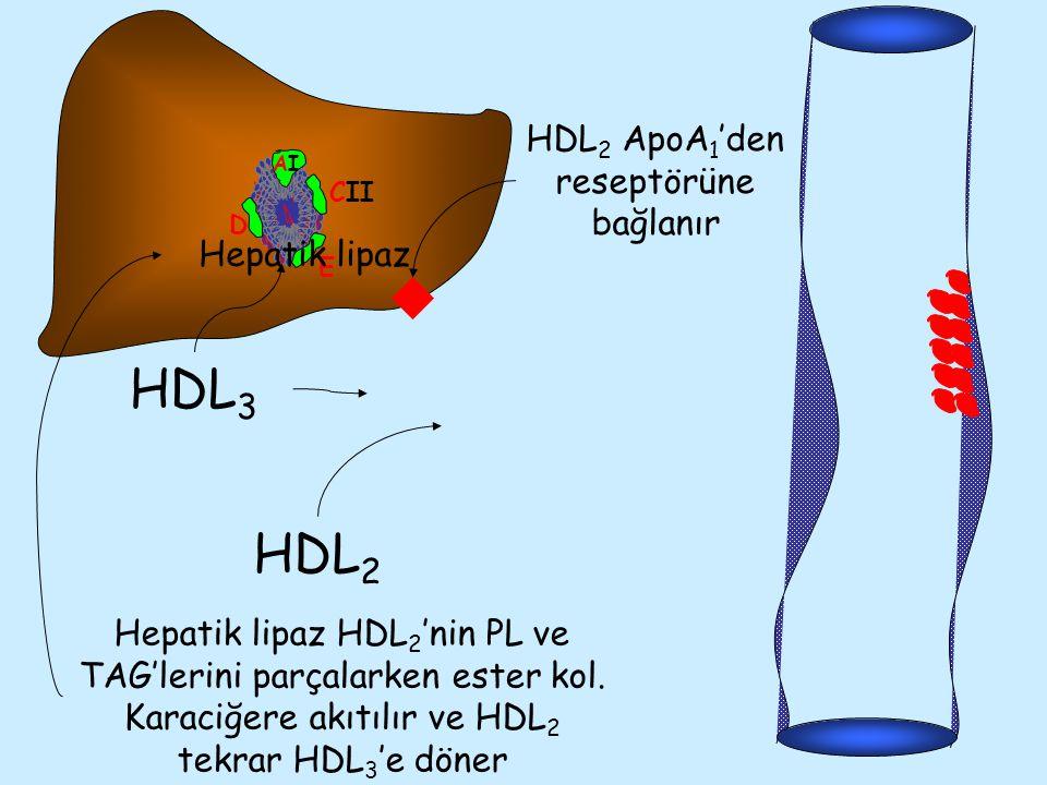 AIAI CII E D HDL 3 HDL 2 HDL 2 ApoA 1 'den reseptörüne bağlanır Hepatik lipaz Hepatik lipaz HDL 2 'nin PL ve TAG'lerini parçalarken ester kol. Karaciğ
