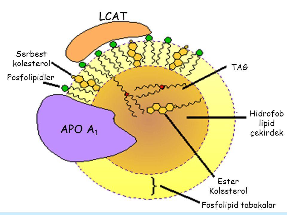 Ester Kolesterol Fosfolipid tabakalar Hidrofob lipid çekirdek TAG Serbest kolesterol Fosfolipidler LCAT APO A 1