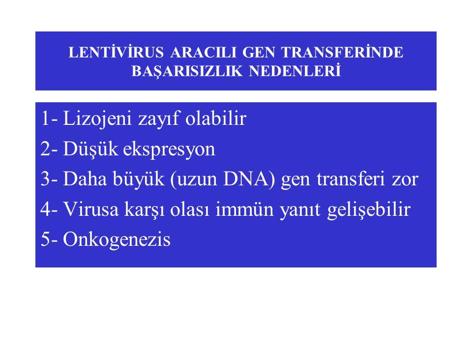 LENTİVİRUS ARACILI GEN TRANSFERİNDE BAŞARISIZLIK NEDENLERİ 1- Lizojeni zayıf olabilir 2- Düşük ekspresyon 3- Daha büyük (uzun DNA) gen transferi zor 4