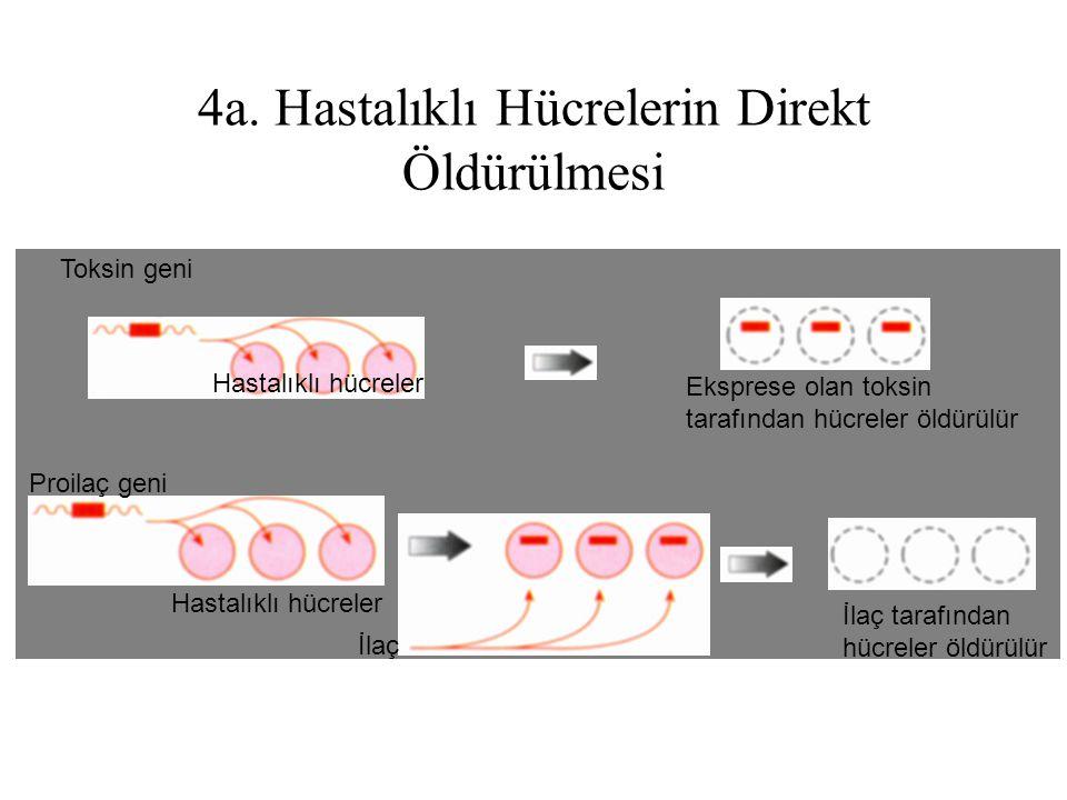 4a. Hastalıklı Hücrelerin Direkt Öldürülmesi İlaç Toksin geni Proilaç geni Hastalıklı hücreler Eksprese olan toksin tarafından hücreler öldürülür İlaç