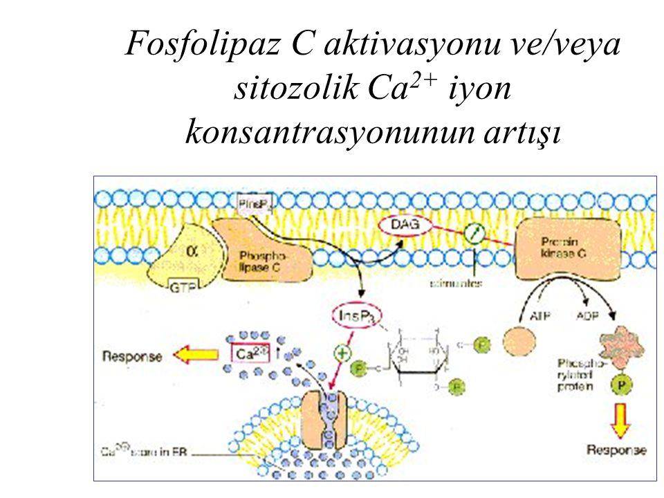 Fosfolipaz C aktivasyonu ve/veya sitozolik Ca 2+ iyon konsantrasyonunun artışı