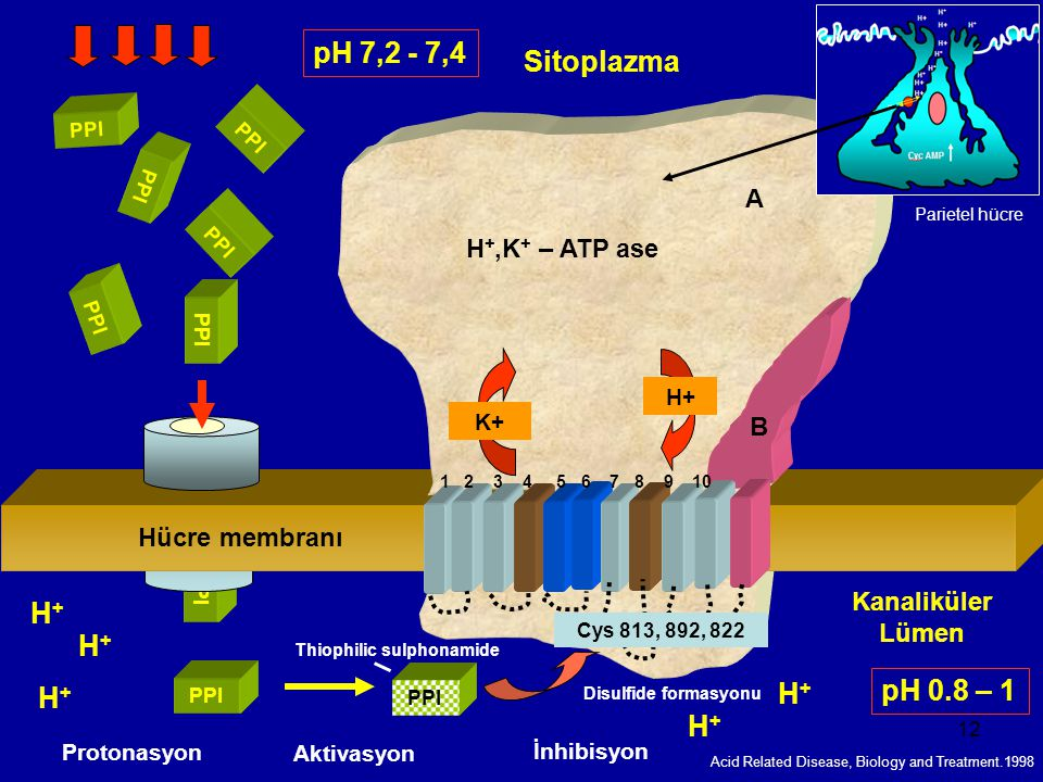 12 Sitoplazma Kanaliküler Lümen Membran P P I P P I P P I P P I P P I P P I PPI Protonasyon H+H+ Aktivasyon İnhibisyon 1 2 3 4 5 6 7 8 9 10 Cys 813, 8