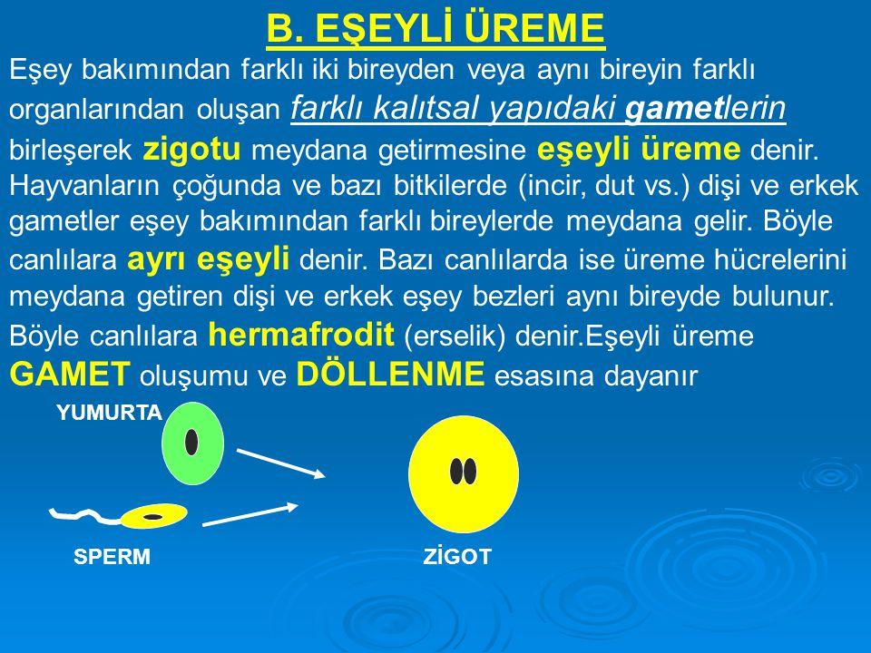 B. EŞEYLİ ÜREME Eşey bakımından farklı iki bireyden veya aynı bireyin farklı organlarından oluşan farklı kalıtsal yapıdaki gametlerin birleşerek zigot