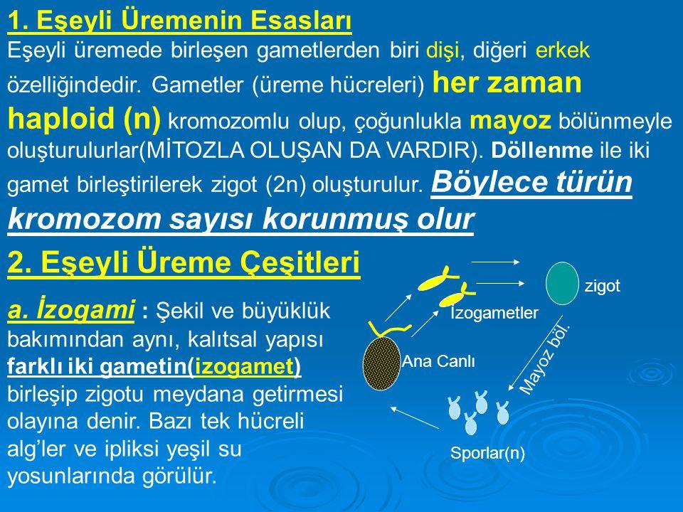 1. Eşeyli Üremenin Esasları Eşeyli üremede birleşen gametlerden biri dişi, diğeri erkek özelliğindedir. Gametler (üreme hücreleri) her zaman haploid (