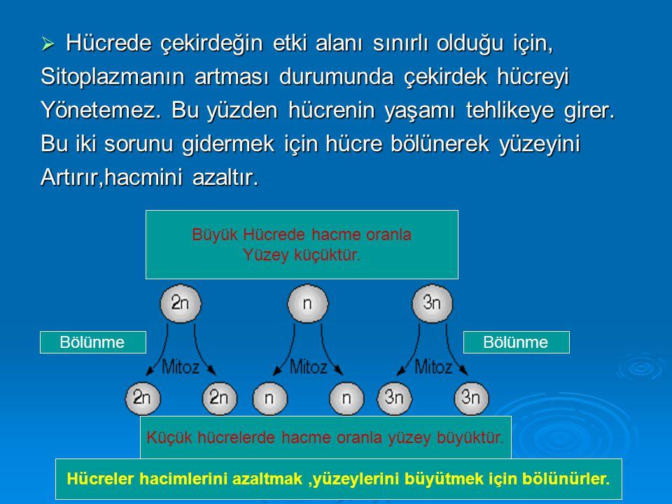  Hücrede çekirdeğin etki alanı sınırlı olduğu için, Sitoplazmanın artması durumunda çekirdek hücreyi Yönetemez.