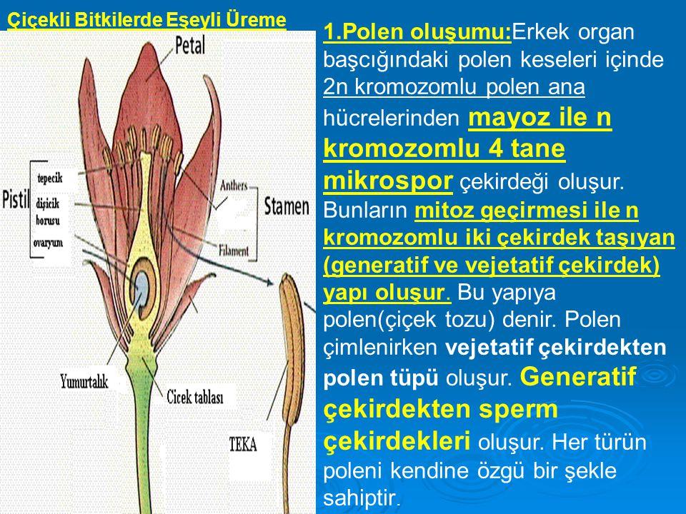 Çiçekli Bitkilerde Eşeyli Üreme 1.Polen oluşumu:Erkek organ başcığındaki polen keseleri içinde 2n kromozomlu polen ana hücrelerinden mayoz ile n kromozomlu 4 tane mikrospor çekirdeği oluşur.