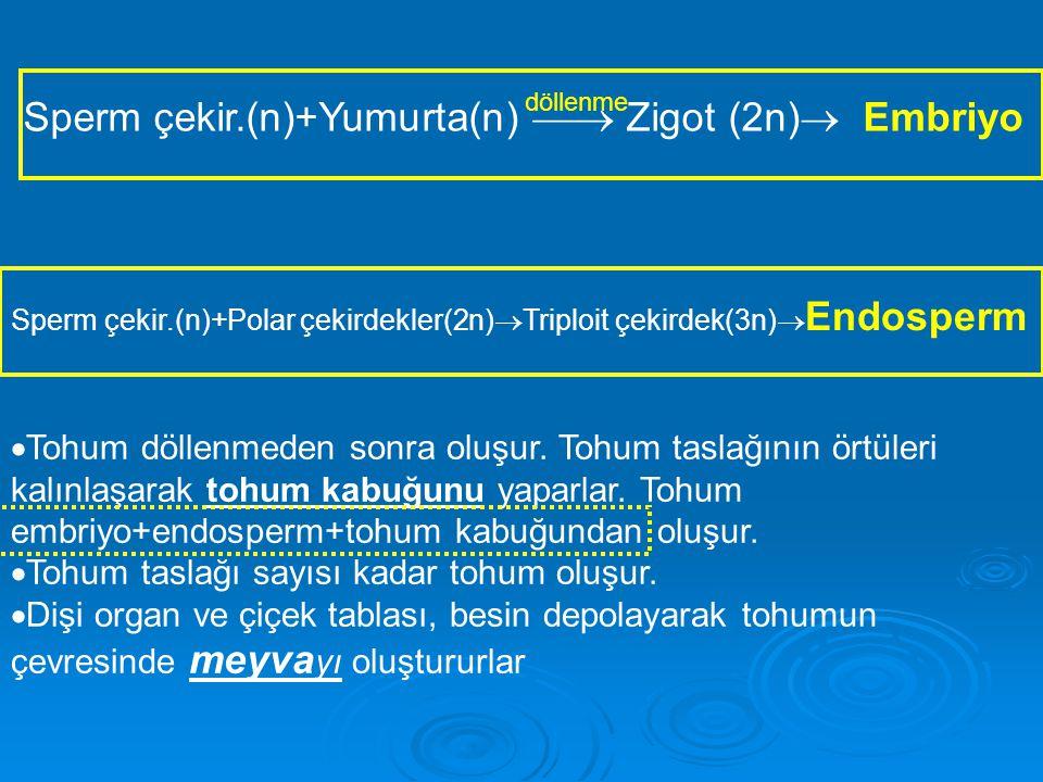 Sperm çekir.(n)+Yumurta(n)  Zigot (2n)  Embriyo döllenme Sperm çekir.(n)+Polar çekirdekler(2n)  Triploit çekirdek(3n)  Endosperm  Tohum döllenmeden sonra oluşur.