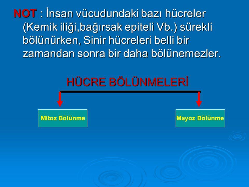 A-MİTOZ BÖLÜNME 1-Mitoz Bölünme Aşamaları : Yeni oluşmuş bir Hücrenin mitoz bölünme geçirmesi sırasında üç ayrı aşama görülür.