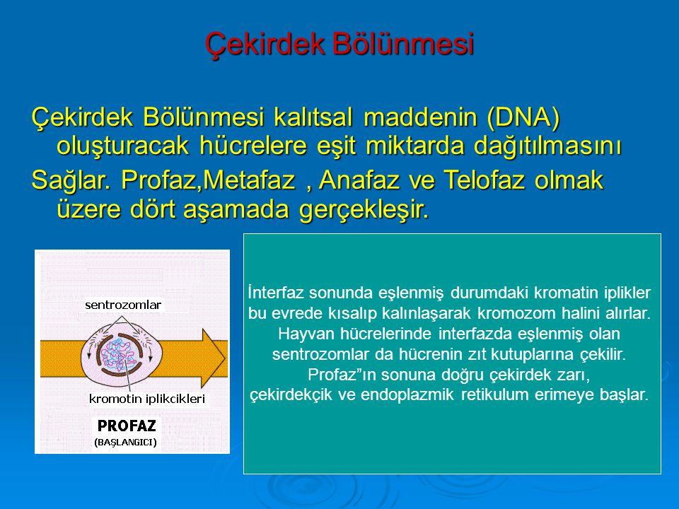 Çekirdek Bölünmesi Çekirdek Bölünmesi kalıtsal maddenin (DNA) oluşturacak hücrelere eşit miktarda dağıtılmasını Sağlar.