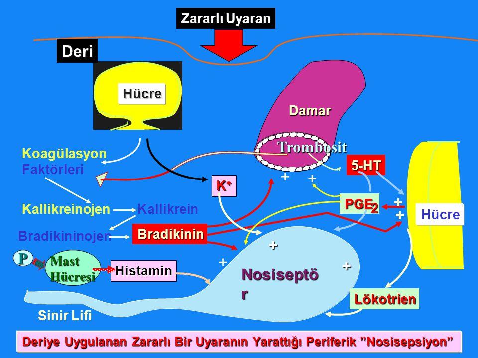Koagülasyon Faktörleri P Hücre Damar Hücre Nosiseptö r Zararlı Uyaran KallikreinojenKallikrein Bradikininojen Bradikinin Sinir Lifi 5-HT K+K+K+K+ Hist