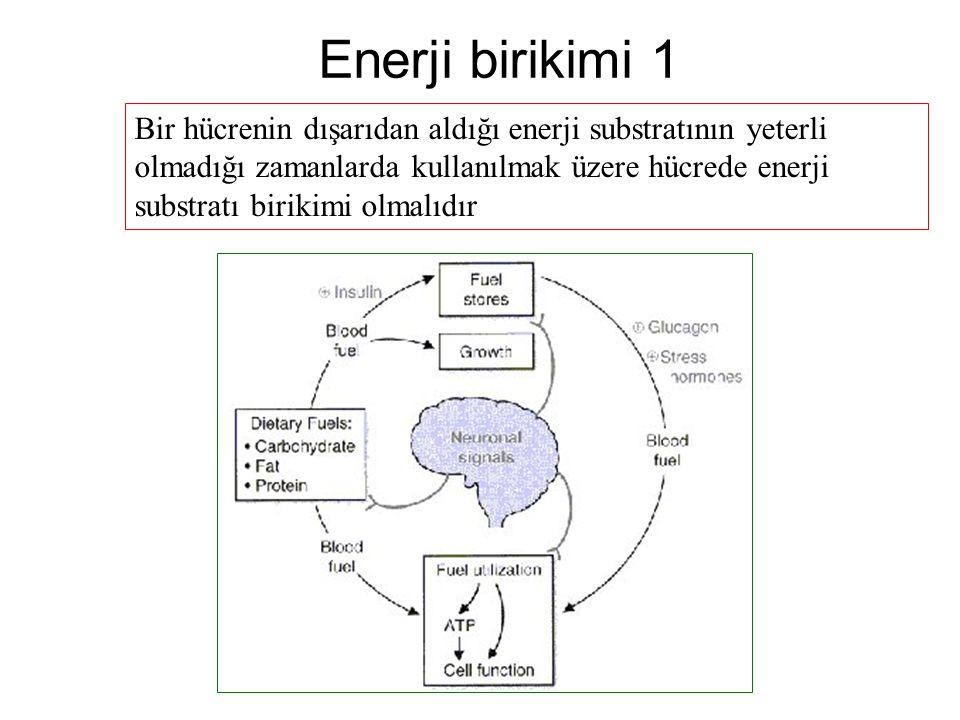Enerji birikimi 2 Memelilerde enerji birikimi; Karbonhidrat için glikojen ve daha önemlisi trigliseriddir.