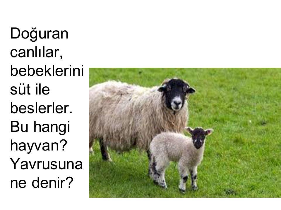 Bu bir keçi. Yavrusunu ne ile besliyor?