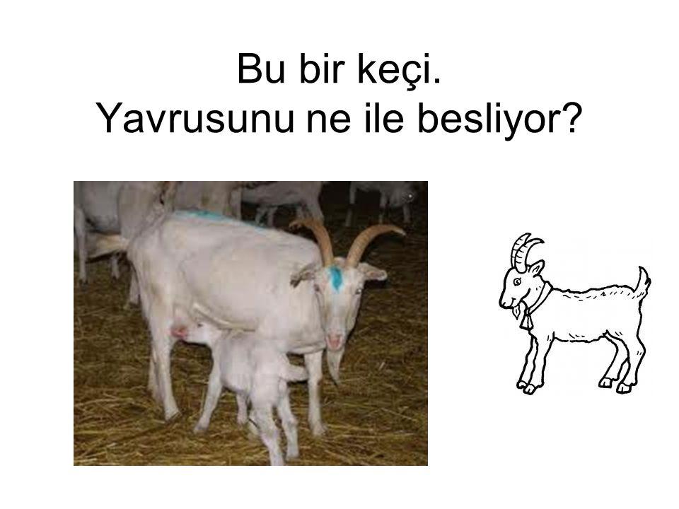 İnsanlar hayvanların sütünden yararlanır. İnek besleyenler önce sütü sağarlar.