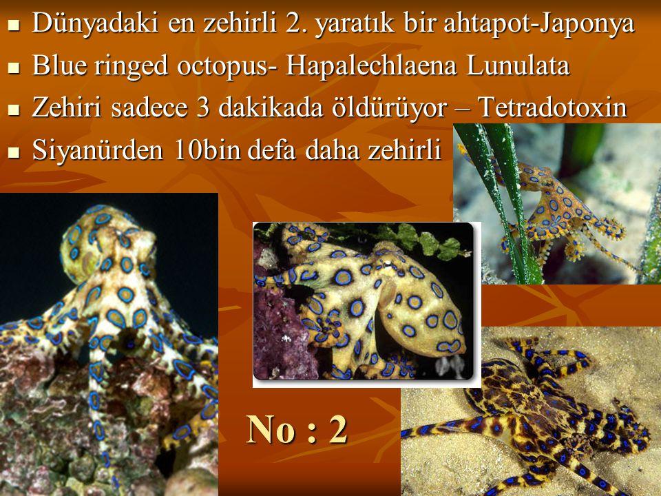 No : 2 Dünyadaki en zehirli 2. yaratık bir ahtapot-Japonya Dünyadaki en zehirli 2. yaratık bir ahtapot-Japonya Blue ringed octopus- Hapalechlaena Lunu