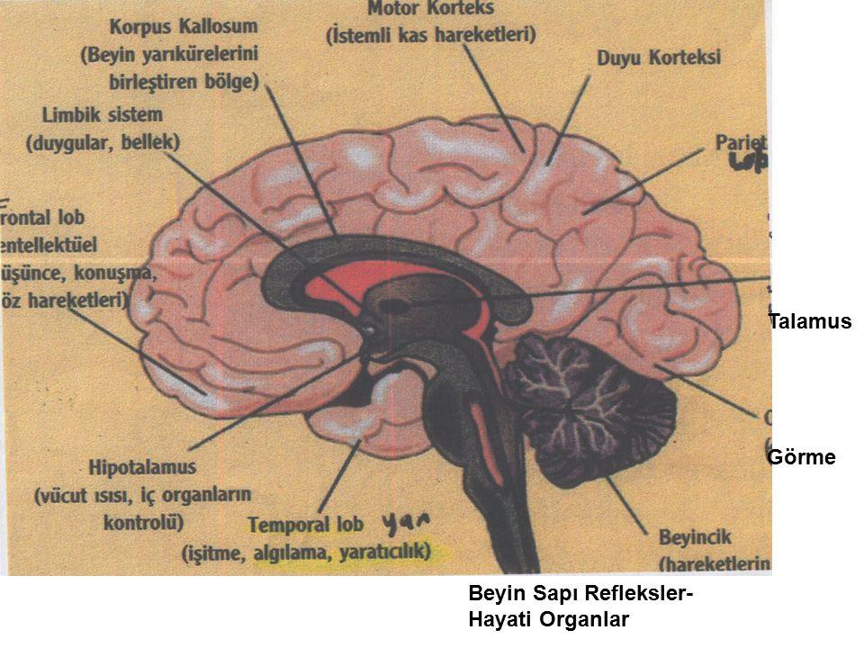 Talamus Görme Beyin Sapı Refleksler- Hayati Organlar