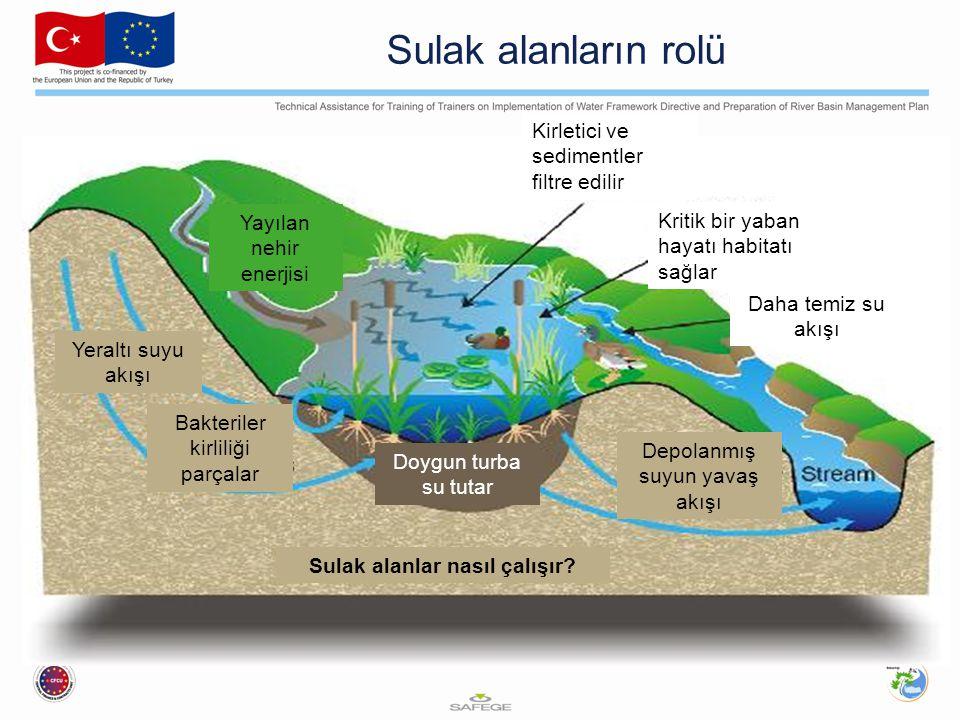 Sulak alanların rolü Kirletici ve sedimentler filtre edilir Kritik bir yaban hayatı habitatı sağlar Daha temiz su akışı Sulak alanlar nasıl çalışır? B