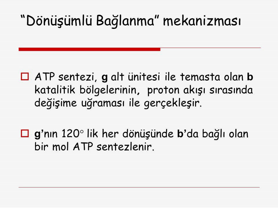 """""""Dönüşümlü Bağlanma"""" mekanizması  ATP sentezi, g alt ünitesi ile temasta olan b katalitik bölgelerinin, proton akışı sırasında değişime uğraması ile"""
