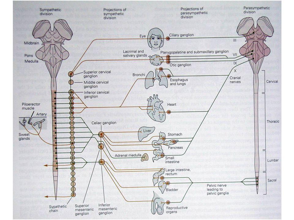 OrganSempatik SistemParasempatik Sistem RYanıtR Göz İris radiyal kası İris sfinkter kası Siliyer kas Aköz hümör oluşumu Aköz hümör drenajı  1  2  1;  2  2 ;  1 Midriyazis (++) Gevşeme (uzağı görme) (+) Artma (++); azalma (+) M3M3M3M3 Miyozis (+++) Kasılma (yakını görme) (+++) Kalp SA düğüm AV düğüm Ventriküller 111111 Kalp hızında  (++) İleti hızında  (++) Otomatisite  (++) Kontraktilite  (+++) İleti hızı  Otomatisite  M2M2M2M2 Kalp hızında  (vagal etki) (+++) İleti hızında  (AV blok) (+++) - Sempatik ve Parasempatik Sistemin Uyarılmasıyla Oluşan Etkiler