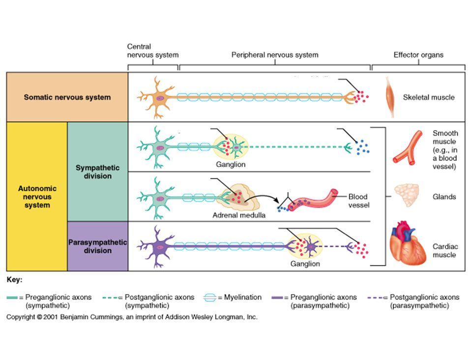 Res.AgonistAntagonistLokalizasyonEtkiAracı sistem Nikotinik Kas tipi (N M ) Feniltrimetil- amonyum  -Bungaratoksin Tubokürarin Nöromusküler kavşak DepolarizasyonKanal (Na + ) Nöron tipi (N N ) Dimetilfenil piperazinyum Heksametonyum Mekamilamin  -bungarotoksin Otonom gangliyonlar EPSP (hızlı)Kanal (Na + ) Adrenal medulla Katekolamin salg.