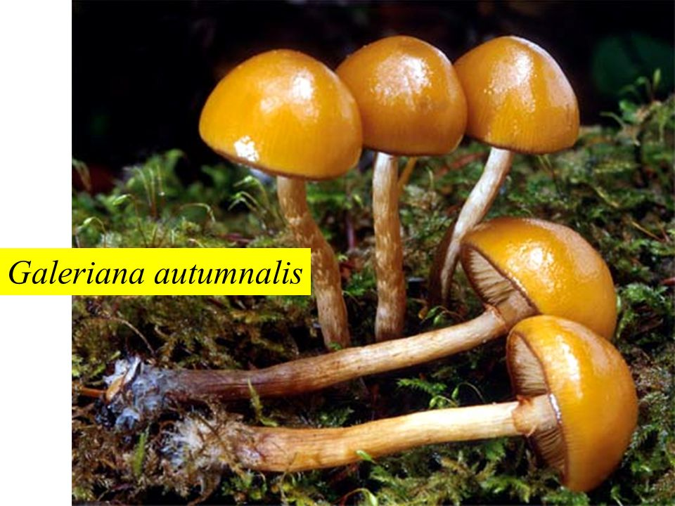 Galeriana autumnalis