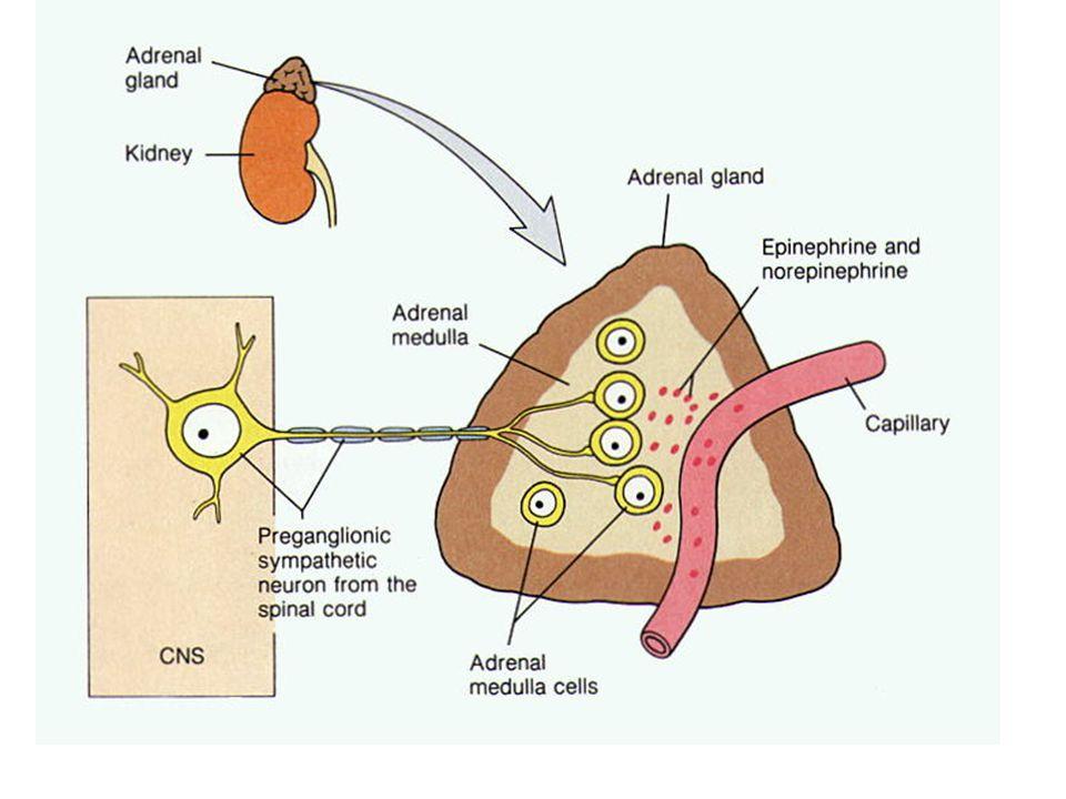 OrganSempatik SistemParasempatik Sistem R.YanıtR.Yanıt Arteriyol Koroner Deri, Mukoza İskelet kası Tükürük bezleri Beyin Karın viserleri Akciğer Böbrek  1,  2;  2  1,  2  ;  2  1,  2  1  1,  2 ;  2  1,  2 ;  2 Konstriksiyon (+); Dilatasyon (++) Konstriksiyon (+++) Konstriksiyon (++); dilatasyon (++) Konstriksiyon (+++) Konstriksiyon (hafif) Konstriksiyon (+++) Konstriksiyon (++); Dilatasyon (+) Konstriksiyon (++); Dilatasyon (+) - Ven ;2;2 Konstriksiyon (++); dilatasyon (+) - Muskarinik agonistlerin bazı damar yataklarında yaptığı vazodilatasyona endotel kaynaklı gevşetici faktör (EDRF, NO) aracılık eder.