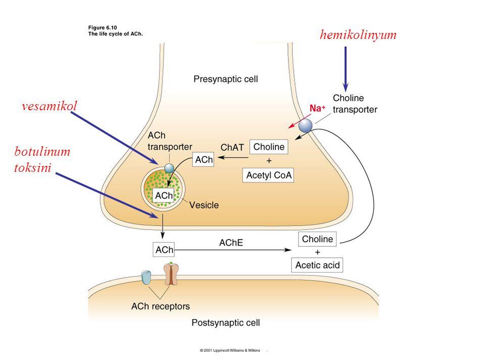 OrganSempatik SistemParasempatik Sistem RYanıtR Ter bezleri Ekrin Apokrin M31M31 Salgılama (+++) Salgılama (+) ---- Piloerektör kaslar 11 Kasılma (++)- Penis 11 EmisyonEreksiyon (+++) (VIPerjik ve nitrerjik) Dalak kapsülü  1 ;  2 Kasılma (++); gevşeme (+)- Uterus Miyometriyum 1;221;22 Gebe: Kasılma; gevşeme Gebe olmayanlar: Gevşeme Adipositler (lipoliz)  1 -  3 ;  2 Artma (++); azalma (+)- Karaciğer  2,  1 Glikojenoliz, glukoneojenez ve glikojen sentezinin inh.