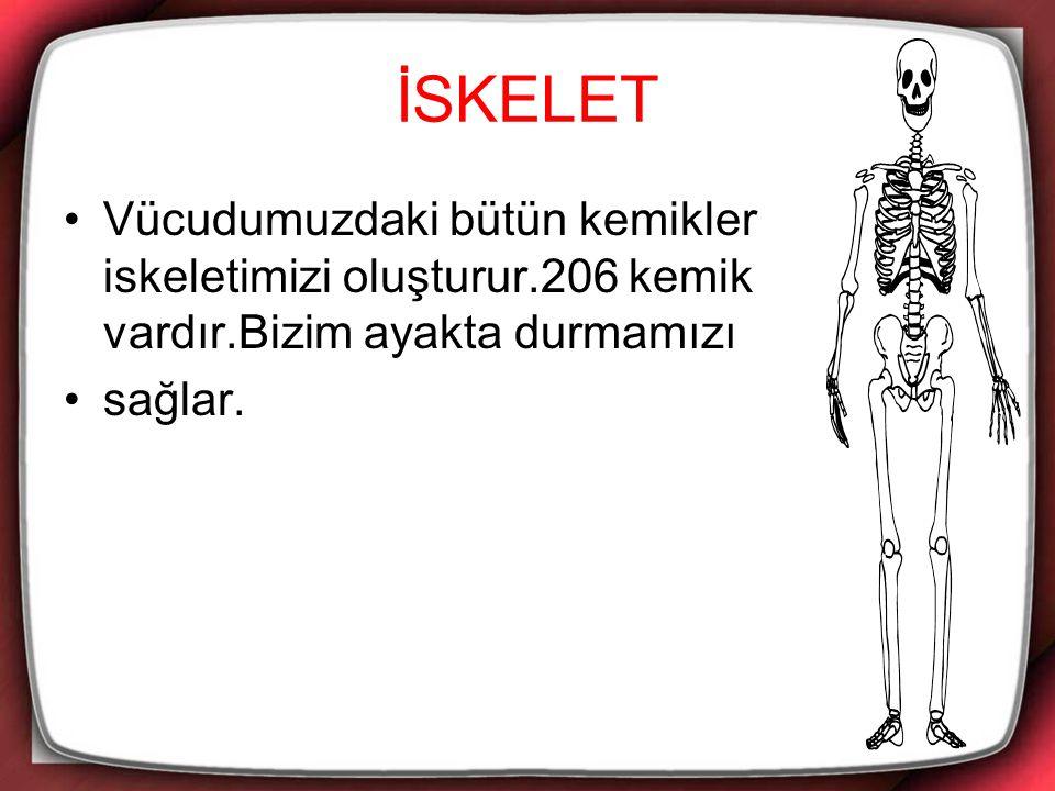 İSKELET Vücudumuzdaki bütün kemikler iskeletimizi oluşturur.206 kemik vardır.Bizim ayakta durmamızı sağlar.