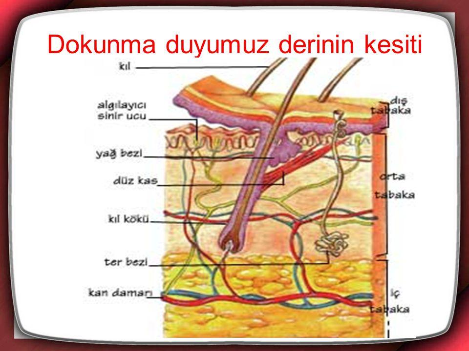 Koku alma organımız burun modeli Kulak modeli