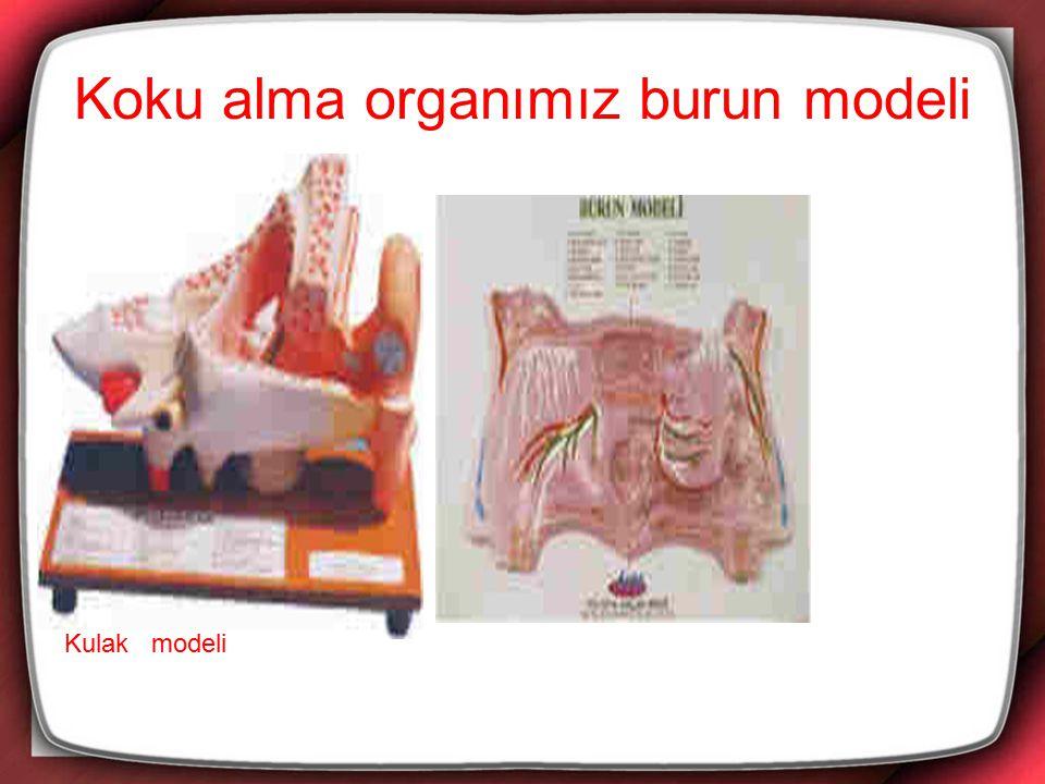 İç Organlarımız Akciğerlerimiz:Göğüs boşluğumuzda,sağda ve solda olmak üzere iki tanedir.