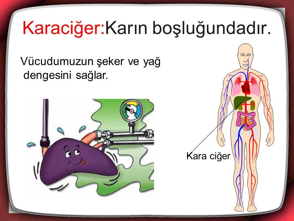 Karaciğer:Karın boşluğundadır. Vücudumuzun şeker ve yağ dengesini sağlar. Kara ciğer