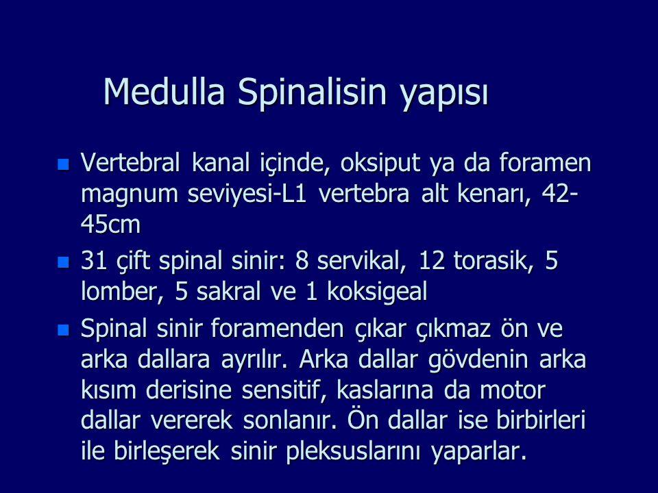 Medulla Spinalisin yapısı n Vertebral kanal içinde, oksiput ya da foramen magnum seviyesi-L1 vertebra alt kenarı, 42- 45cm n 31 çift spinal sinir: 8 s