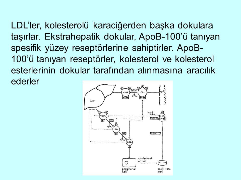 LDL'ler, kolesterolü karaciğerden başka dokulara taşırlar. Ekstrahepatik dokular, ApoB-100'ü tanıyan spesifik yüzey reseptörlerine sahiptirler. ApoB-