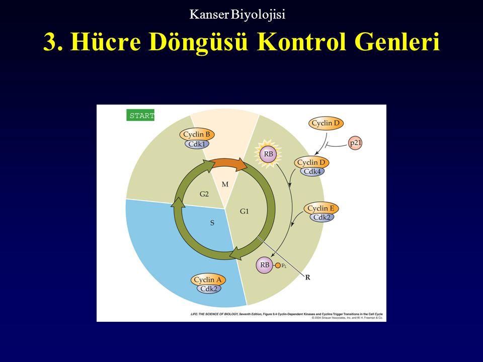 3. Hücre Döngüsü Kontrol Genleri Kanser Biyolojisi