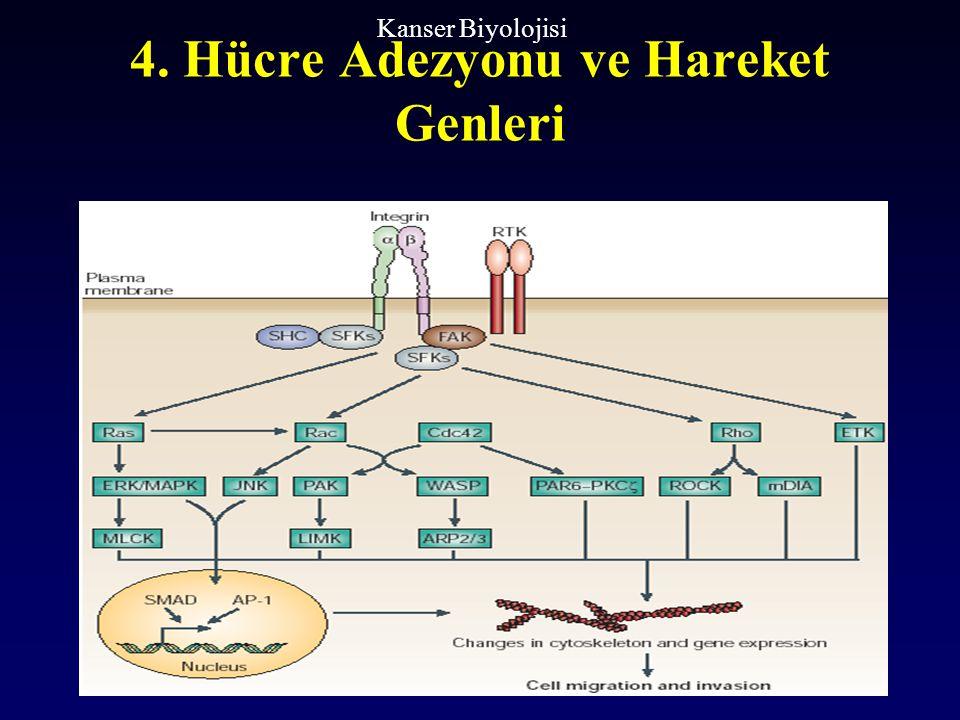 4. Hücre Adezyonu ve Hareket Genleri Kanser Biyolojisi