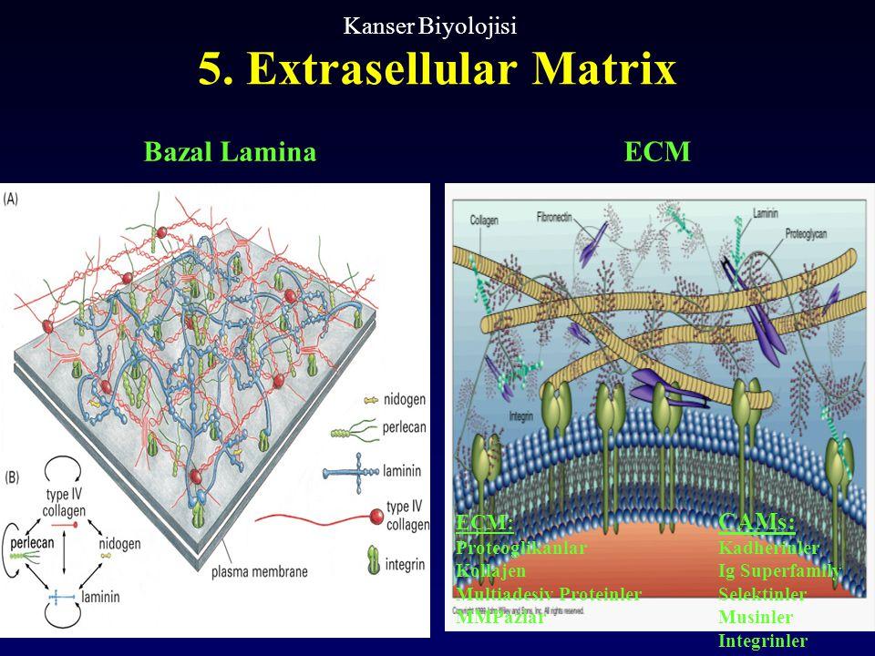 5. Extrasellular Matrix Kanser Biyolojisi ECM: CAMs: ProteoglikanlarKadherinler KollajenIg Superfamily Multiadesiv ProteinlerSelektinler MMPazlarMusin
