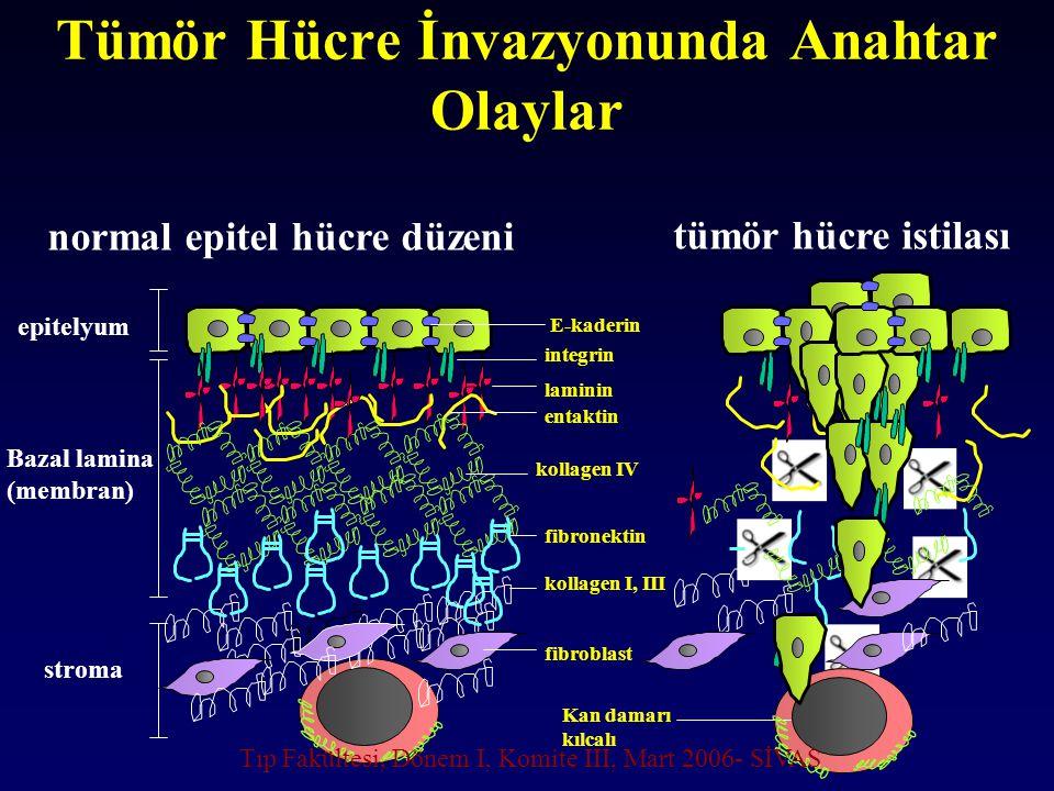 Tümör Hücre İnvazyonunda Anahtar Olaylar tümör hücre istilası epitelyum Bazal lamina (membran) stroma normal epitel hücre düzeni integrin laminin enta