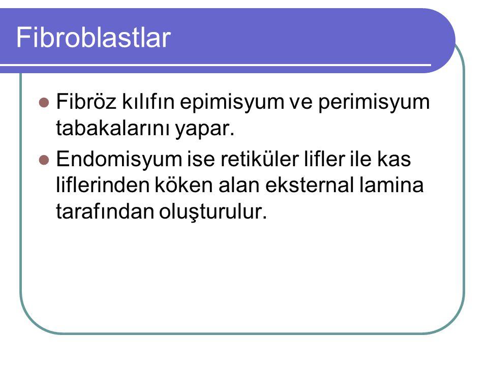 Fibroblastlar Fibröz kılıfın epimisyum ve perimisyum tabakalarını yapar. Endomisyum ise retiküler lifler ile kas liflerinden köken alan eksternal lami