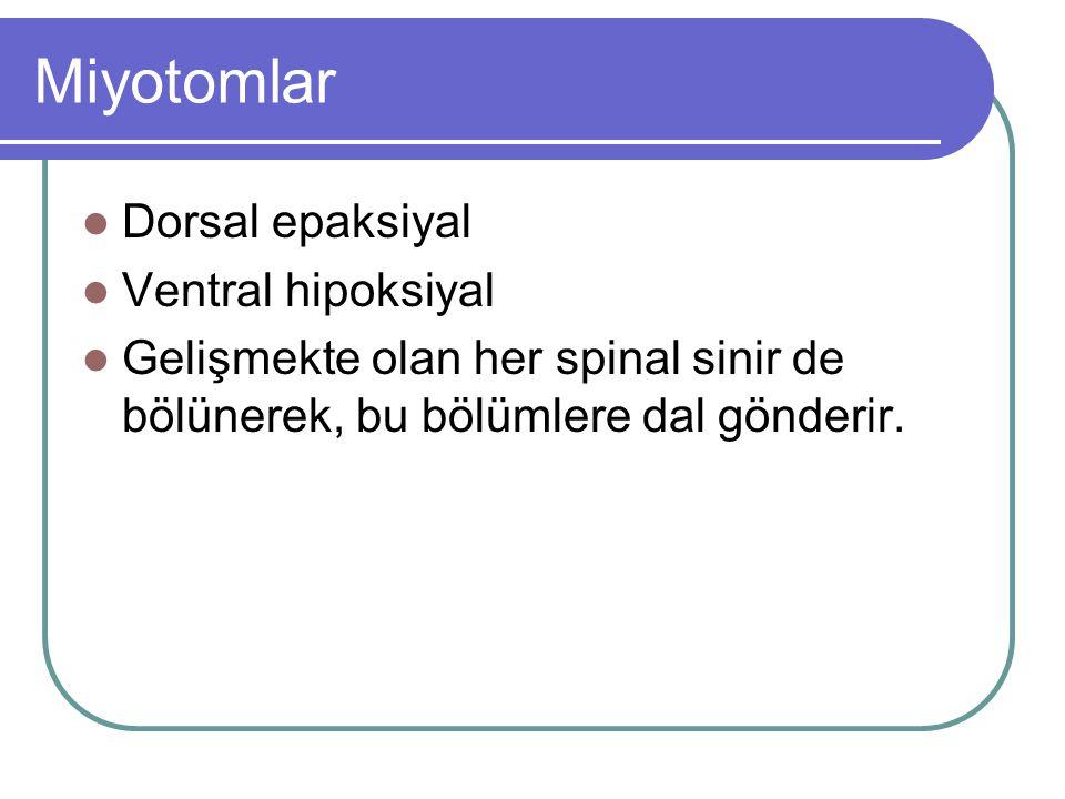 Miyotomlar Dorsal epaksiyal Ventral hipoksiyal Gelişmekte olan her spinal sinir de bölünerek, bu bölümlere dal gönderir.