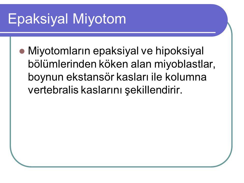Epaksiyal Miyotom Miyotomların epaksiyal ve hipoksiyal bölümlerinden köken alan miyoblastlar, boynun ekstansör kasları ile kolumna vertebralis kasları