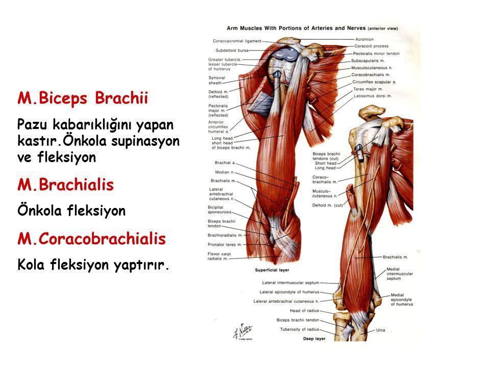 M.Biceps Brachii Pazu kabarıklığını yapan kastır.Önkola supinasyon ve fleksiyon M.Brachialis Önkola fleksiyon M.Coracobrachialis Kola fleksiyon yaptır