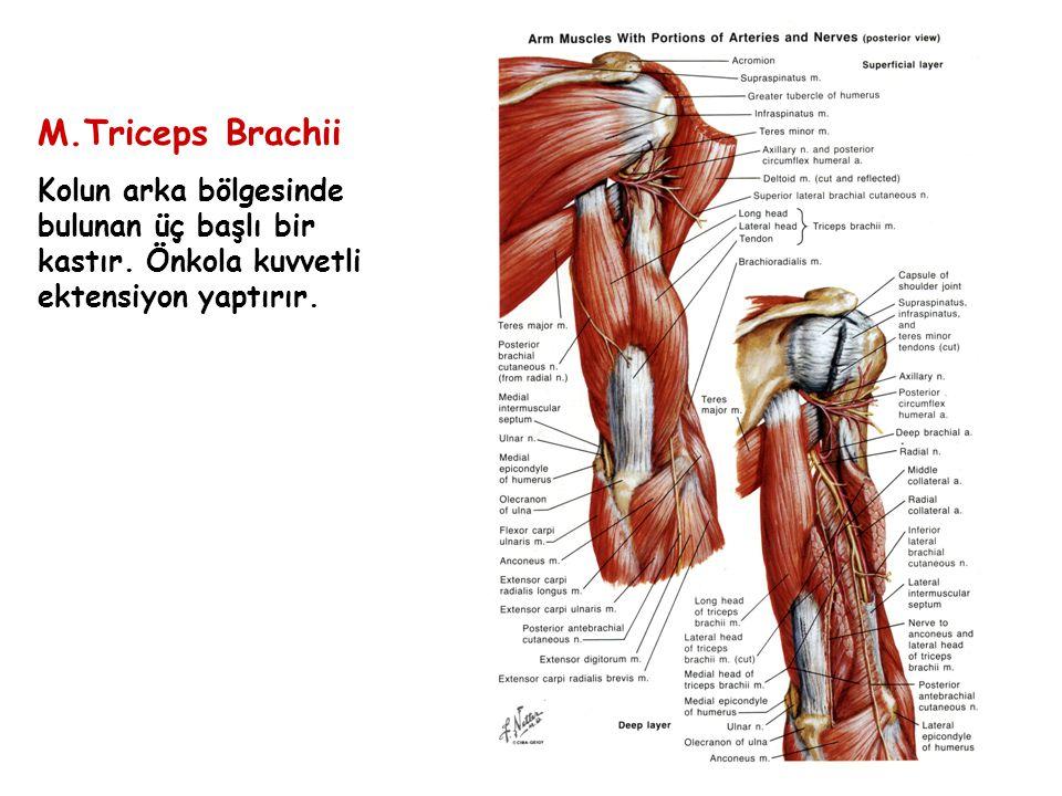 M.Triceps Brachii Kolun arka bölgesinde bulunan üç başlı bir kastır. Önkola kuvvetli ektensiyon yaptırır.