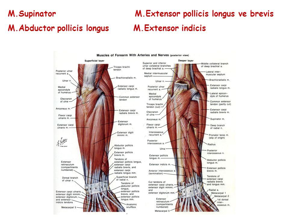 M.Supinator M.Extensor pollicis longus ve brevis M.Abductor pollicis longus M.Extensor indicis