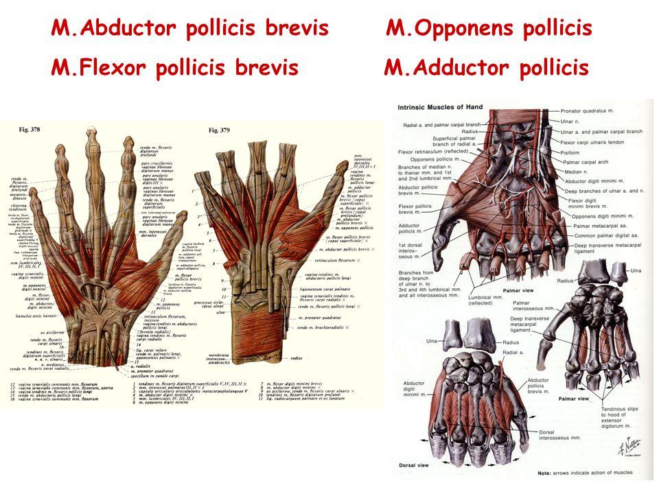 M.Abductor pollicis brevis M.Opponens pollicis M.Flexor pollicis brevis M.Adductor pollicis