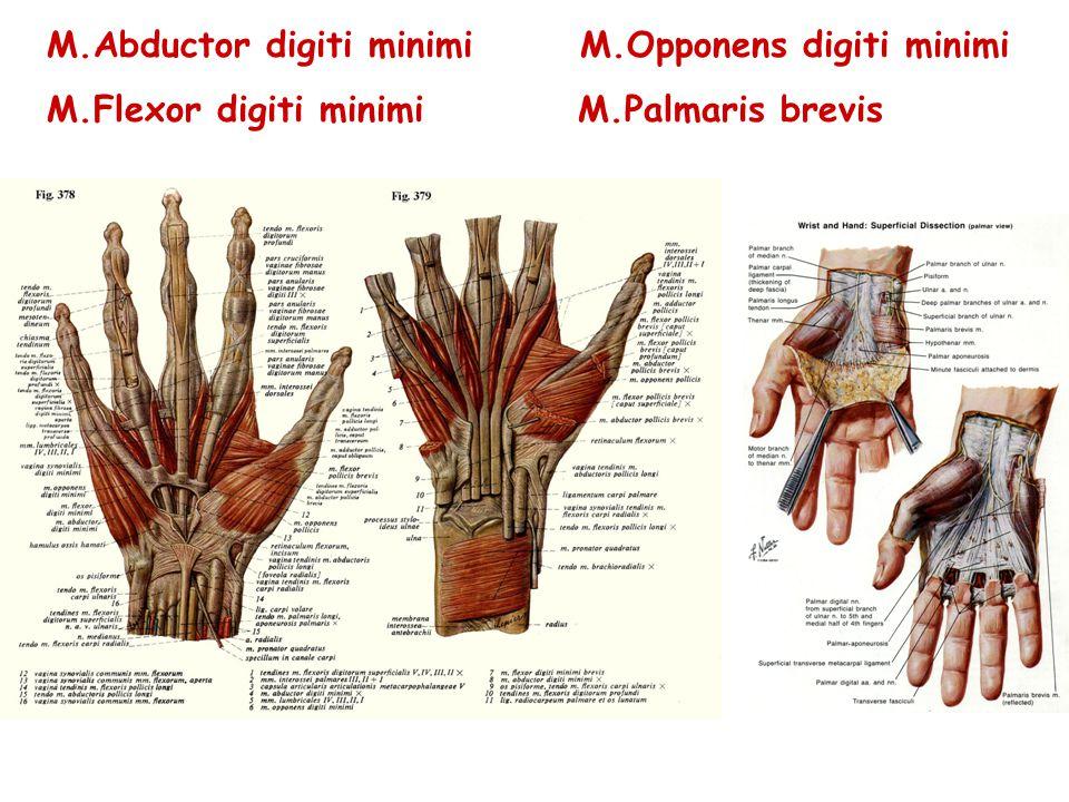 M.Abductor digiti minimi M.Opponens digiti minimi M.Flexor digiti minimi M.Palmaris brevis